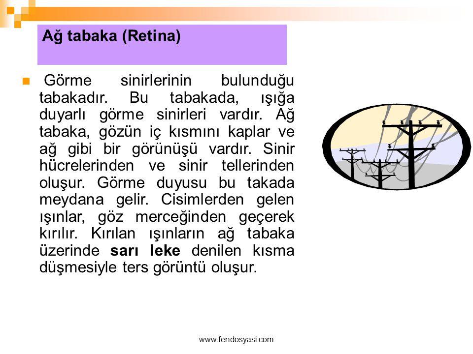 www.fendosyasi.com Ağ tabaka (Retina) Görme sinirlerinin bulunduğu tabakadır. Bu tabakada, ışığa duyarlı görme sinirleri vardır. Ağ tabaka, gözün iç k