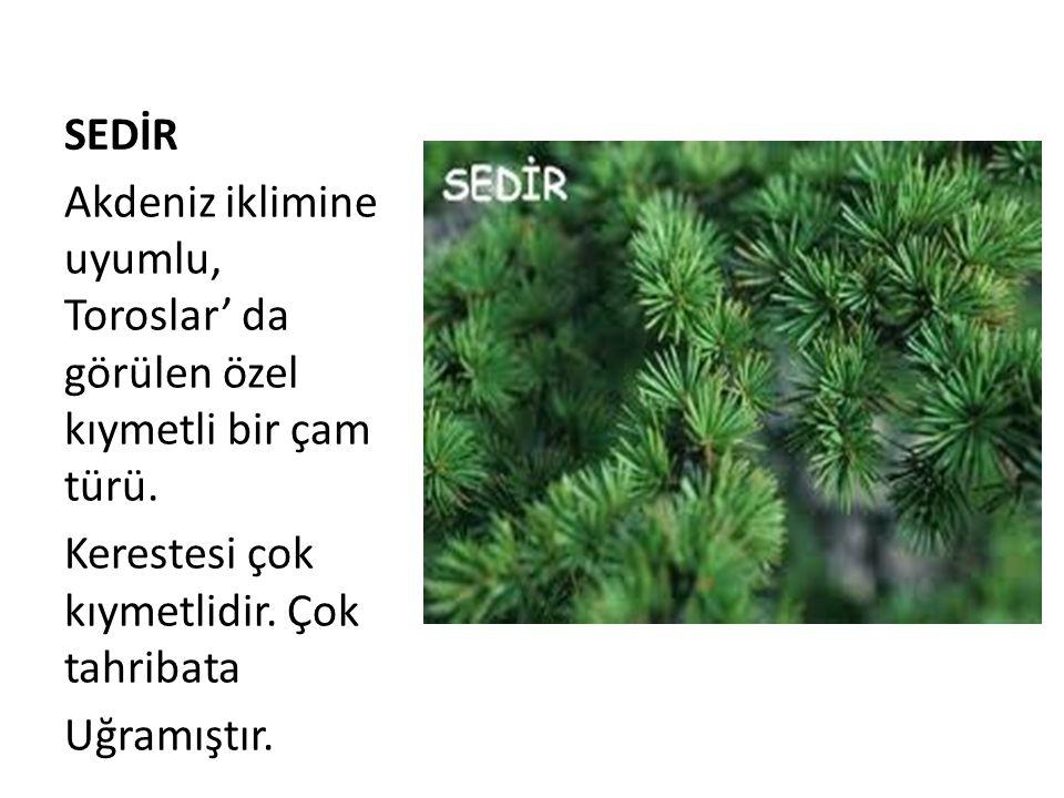 SEDİR Akdeniz iklimine uyumlu, Toroslar' da görülen özel kıymetli bir çam türü.