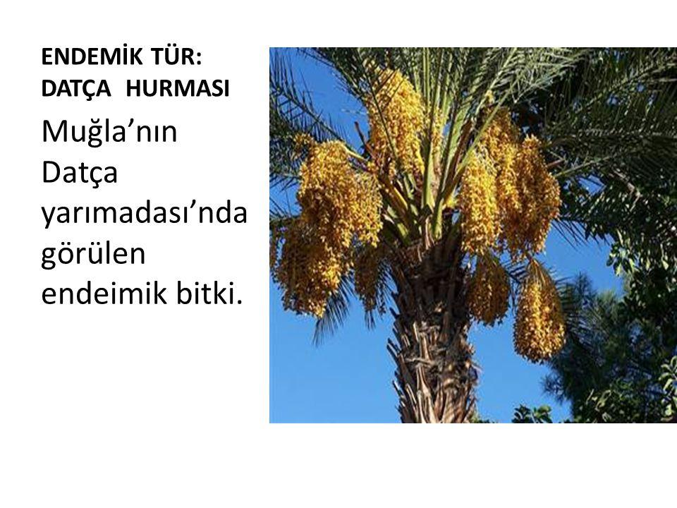 ENDEMİK TÜR: DATÇA HURMASI Muğla'nın Datça yarımadası'nda görülen endeimik bitki.