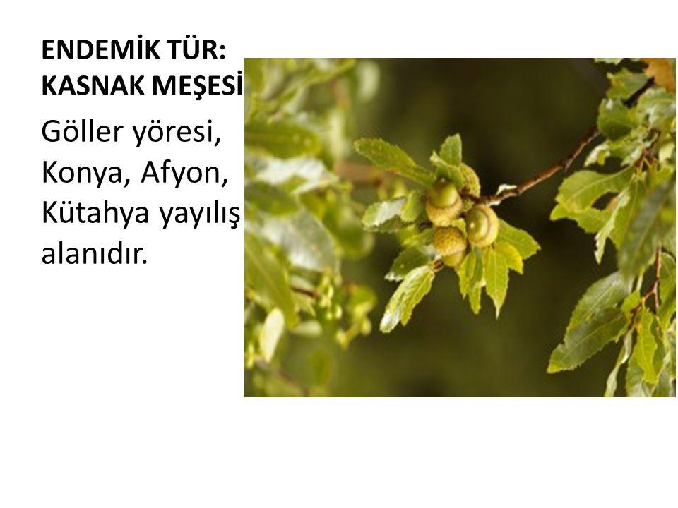 ENDEMİK TÜR: KASNAK MEŞESİ Göller yöresi, Konya, Afyon, Kütahya yayılış alanıdır.
