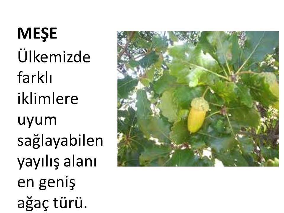 MEŞE Ülkemizde farklı iklimlere uyum sağlayabilen yayılış alanı en geniş ağaç türü.