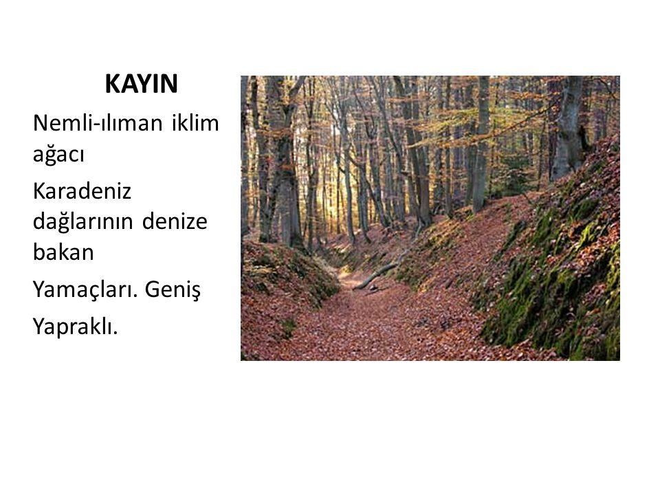 KAYIN Nemli-ılıman iklim ağacı Karadeniz dağlarının denize bakan Yamaçları. Geniş Yapraklı.