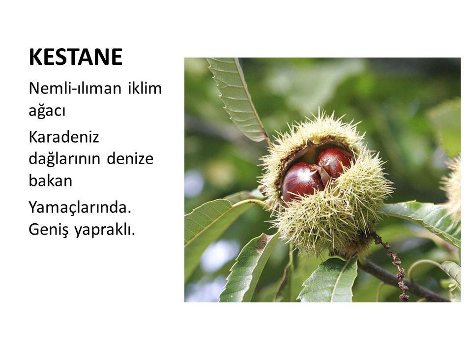 KESTANE Nemli-ılıman iklim ağacı Karadeniz dağlarının denize bakan Yamaçlarında. Geniş yapraklı.