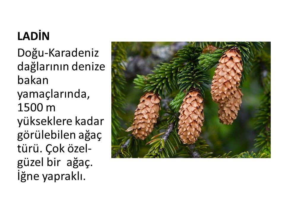 LADİN Doğu-Karadeniz dağlarının denize bakan yamaçlarında, 1500 m yükseklere kadar görülebilen ağaç türü. Çok özel- güzel bir ağaç. İğne yapraklı.