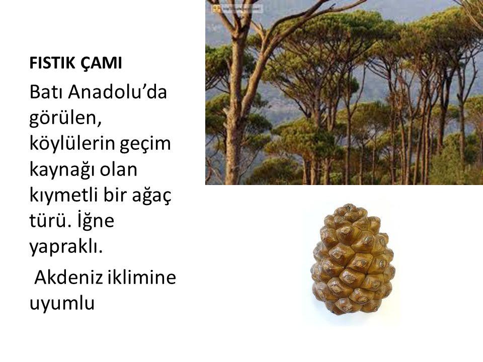 FISTIK ÇAMI Batı Anadolu'da görülen, köylülerin geçim kaynağı olan kıymetli bir ağaç türü. İğne yapraklı. Akdeniz iklimine uyumlu
