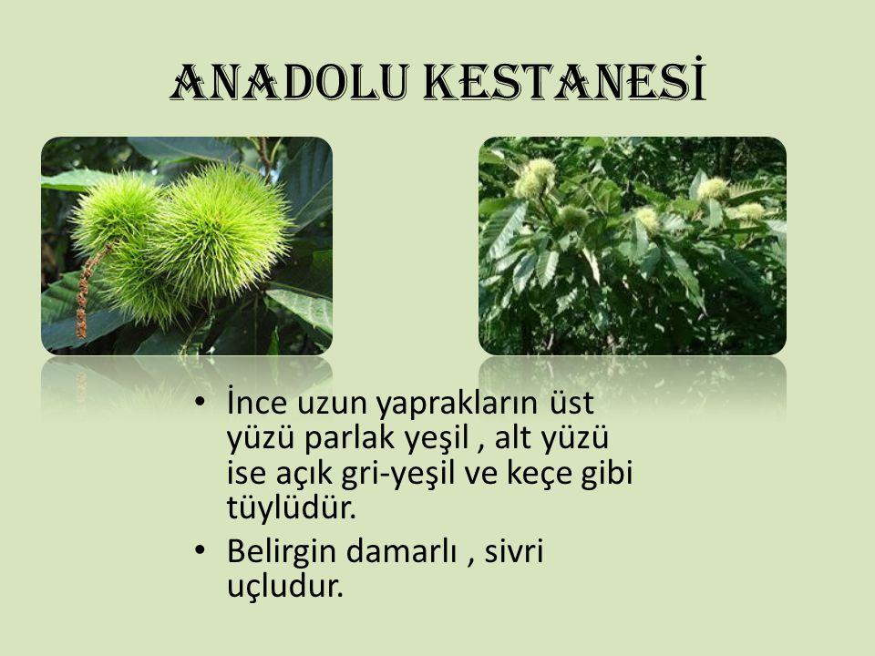 ANADOLU KESTANES İ İnce uzun yaprakların üst yüzü parlak yeşil, alt yüzü ise açık gri-yeşil ve keçe gibi tüylüdür. Belirgin damarlı, sivri uçludur.