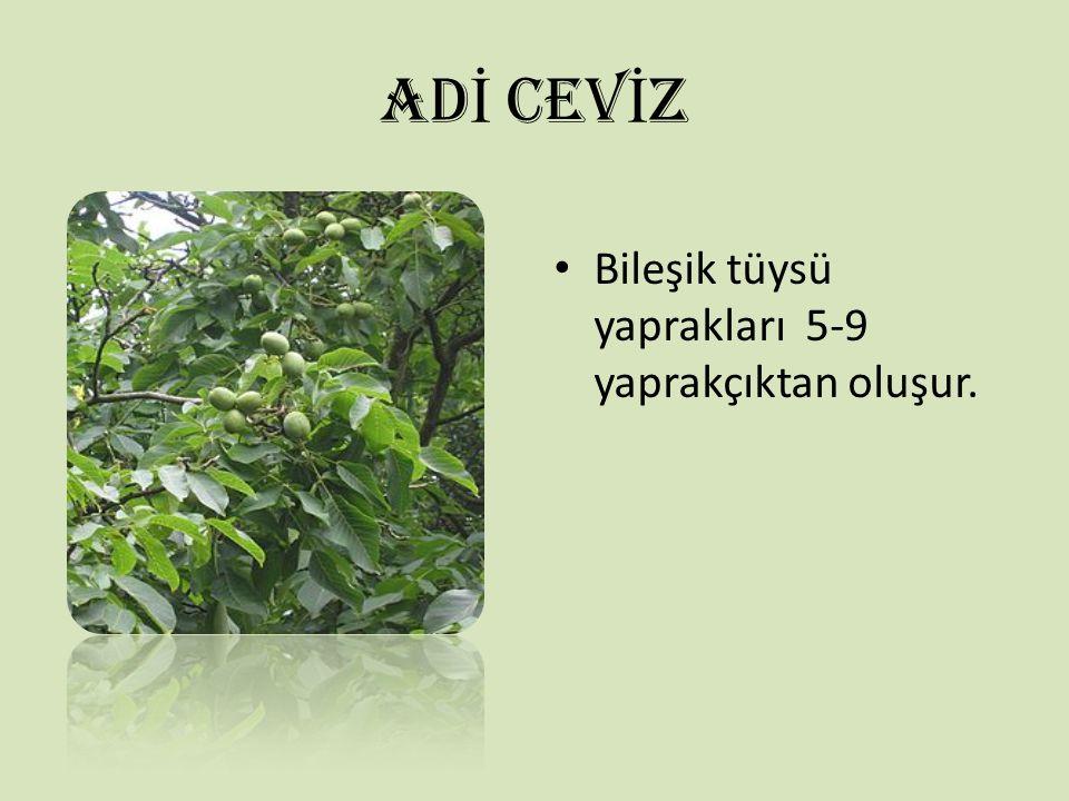 AD İ CEV İ Z Bileşik tüysü yaprakları 5-9 yaprakçıktan oluşur.
