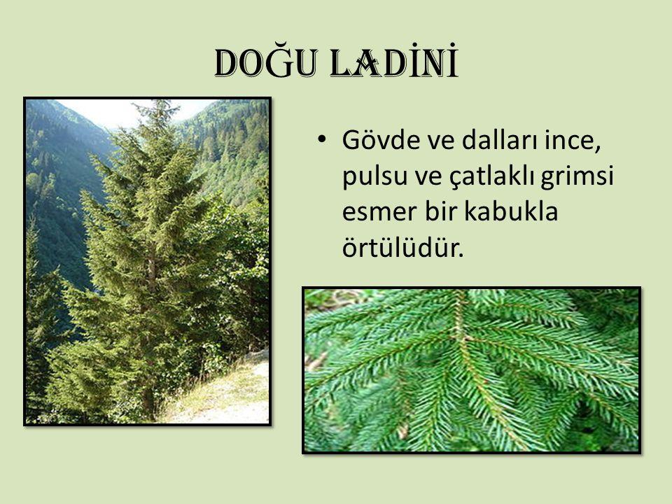 DO Ğ U LAD İ N İ Gövde ve dalları ince, pulsu ve çatlaklı grimsi esmer bir kabukla örtülüdür.