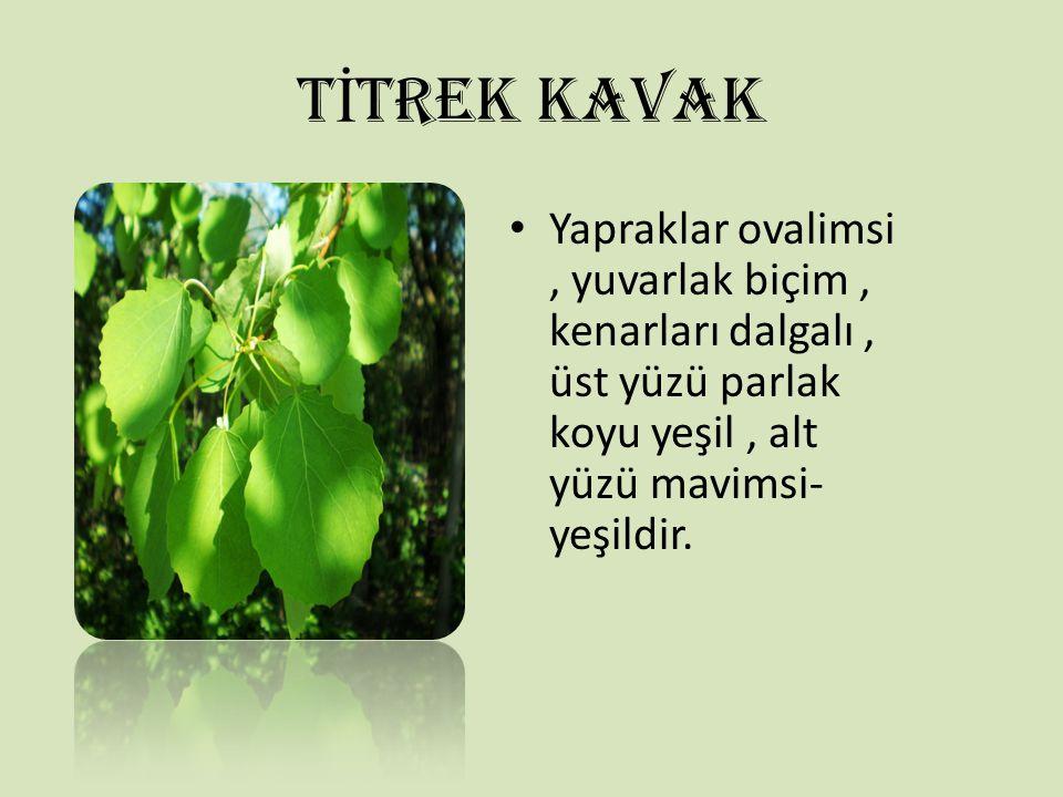 T İ TREK KAVAK Yapraklar ovalimsi, yuvarlak biçim, kenarları dalgalı, üst yüzü parlak koyu yeşil, alt yüzü mavimsi- yeşildir.