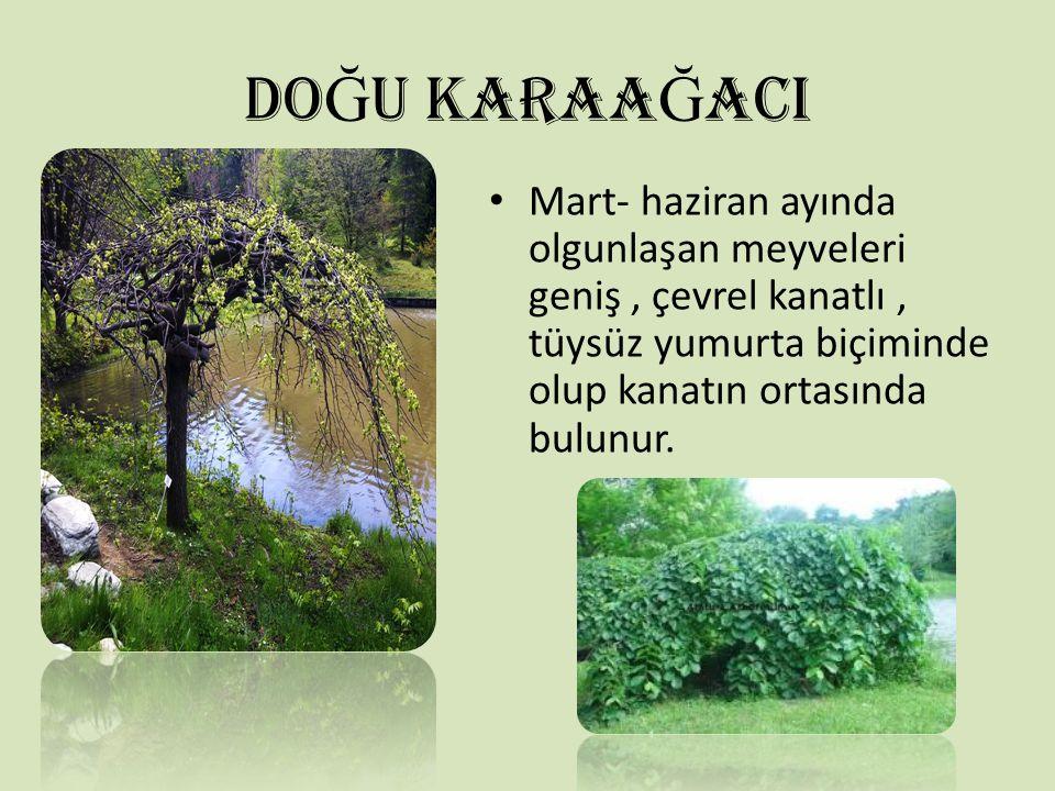 DO Ğ U KARAA Ğ ACI Mart- haziran ayında olgunlaşan meyveleri geniş, çevrel kanatlı, tüysüz yumurta biçiminde olup kanatın ortasında bulunur.