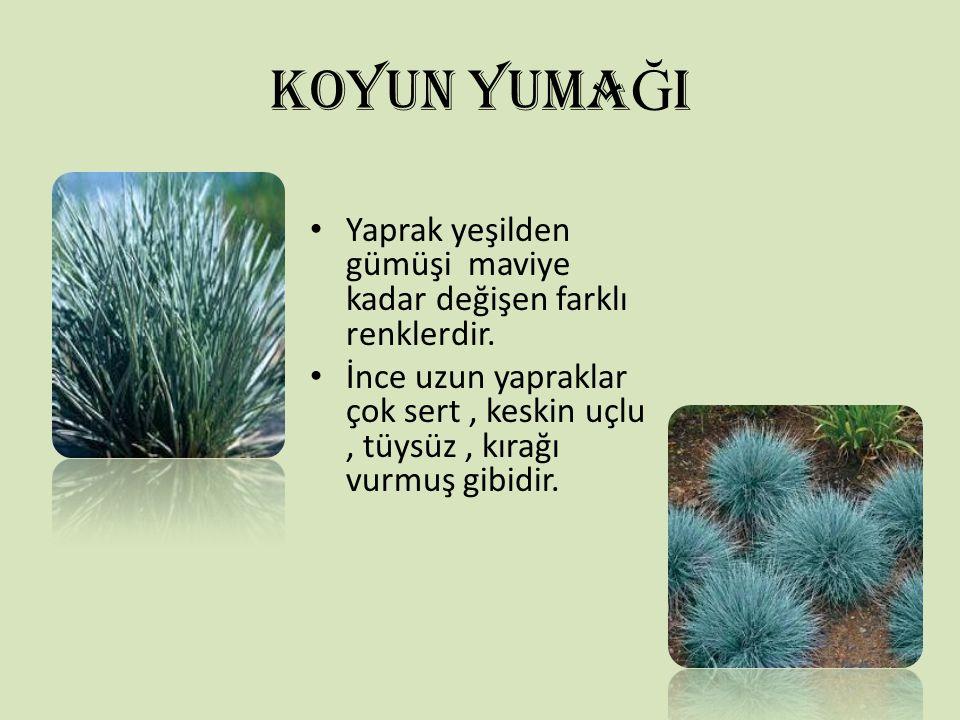 KOYUN YUMA Ğ I Yaprak yeşilden gümüşi maviye kadar değişen farklı renklerdir. İnce uzun yapraklar çok sert, keskin uçlu, tüysüz, kırağı vurmuş gibidir