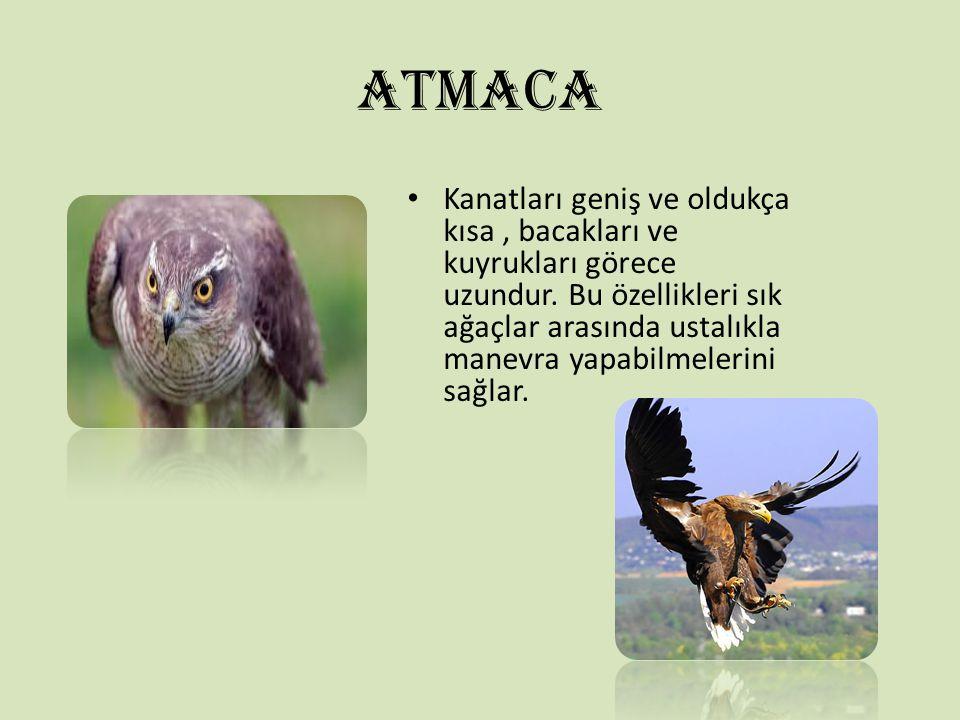 ATMACA Kanatları geniş ve oldukça kısa, bacakları ve kuyrukları görece uzundur. Bu özellikleri sık ağaçlar arasında ustalıkla manevra yapabilmelerini