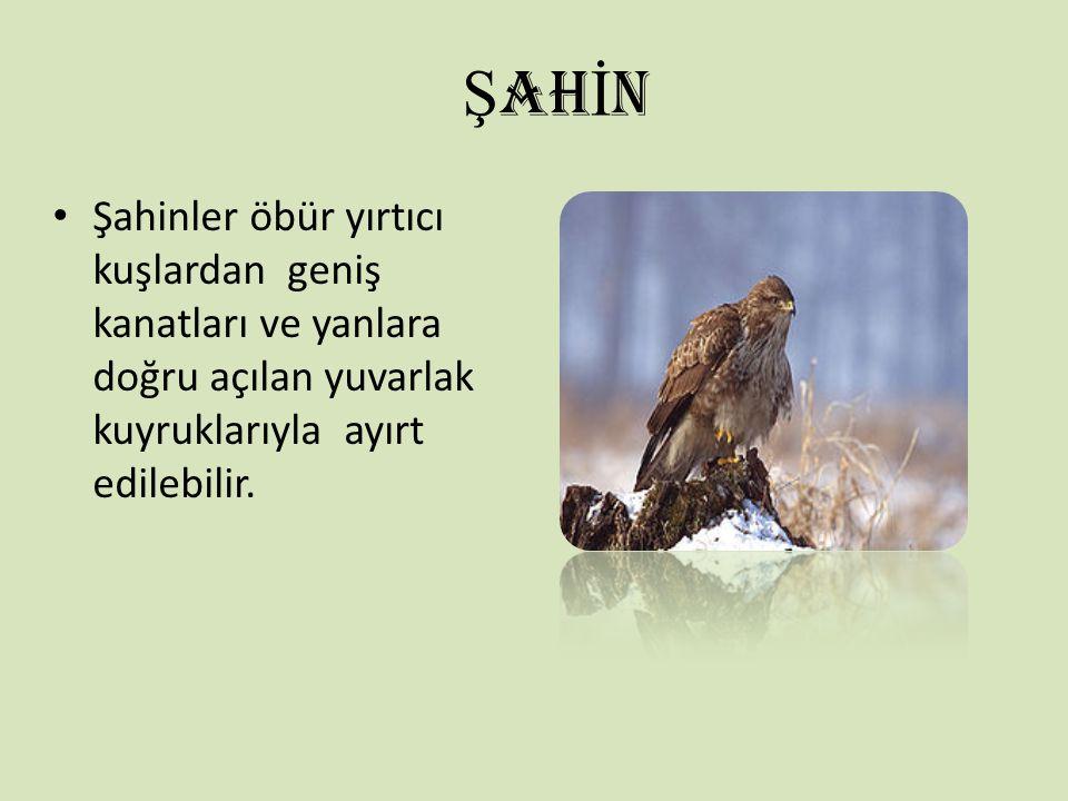 Ş AH İ N Şahinler öbür yırtıcı kuşlardan geniş kanatları ve yanlara doğru açılan yuvarlak kuyruklarıyla ayırt edilebilir.