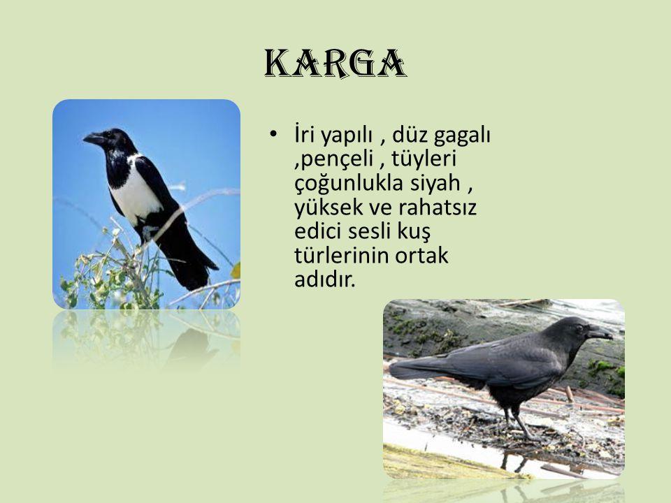 KARGA İri yapılı, düz gagalı,pençeli, tüyleri çoğunlukla siyah, yüksek ve rahatsız edici sesli kuş türlerinin ortak adıdır.