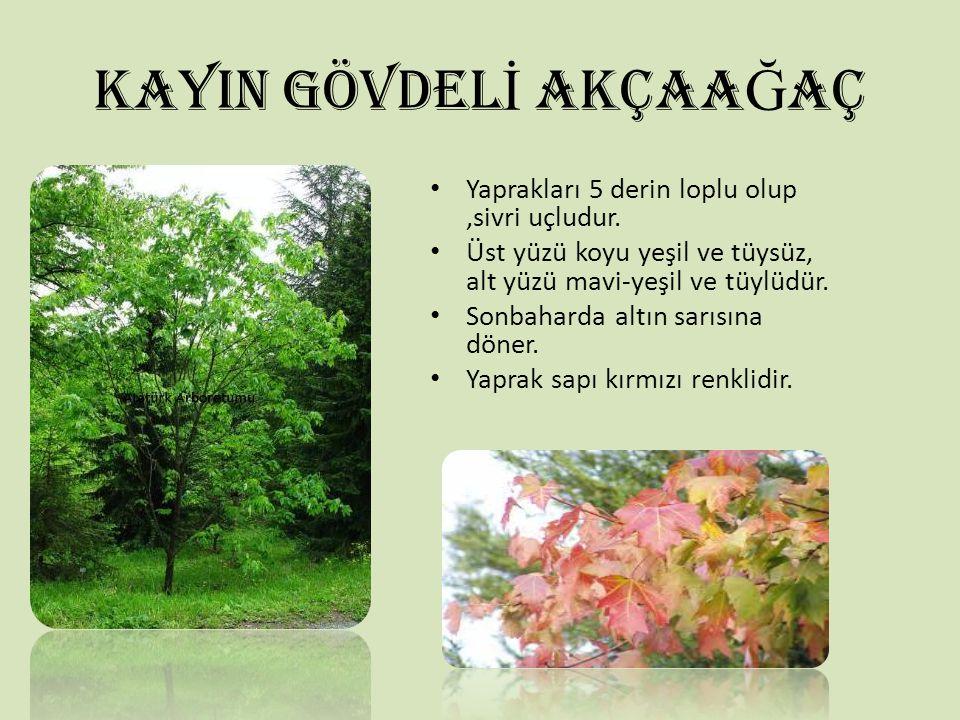 KAYIN GÖVDEL İ AKÇAA Ğ AÇ Yaprakları 5 derin loplu olup,sivri uçludur. Üst yüzü koyu yeşil ve tüysüz, alt yüzü mavi-yeşil ve tüylüdür. Sonbaharda altı