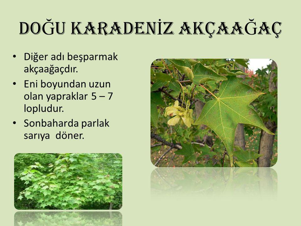 DO Ğ U KARADEN İ Z AKÇAA Ğ AÇ Diğer adı beşparmak akçaağaçdır. Eni boyundan uzun olan yapraklar 5 – 7 lopludur. Sonbaharda parlak sarıya döner.