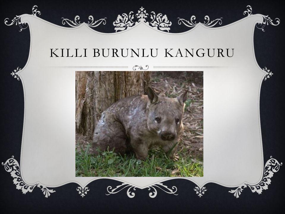 KILLI BURUNLU KANGURU