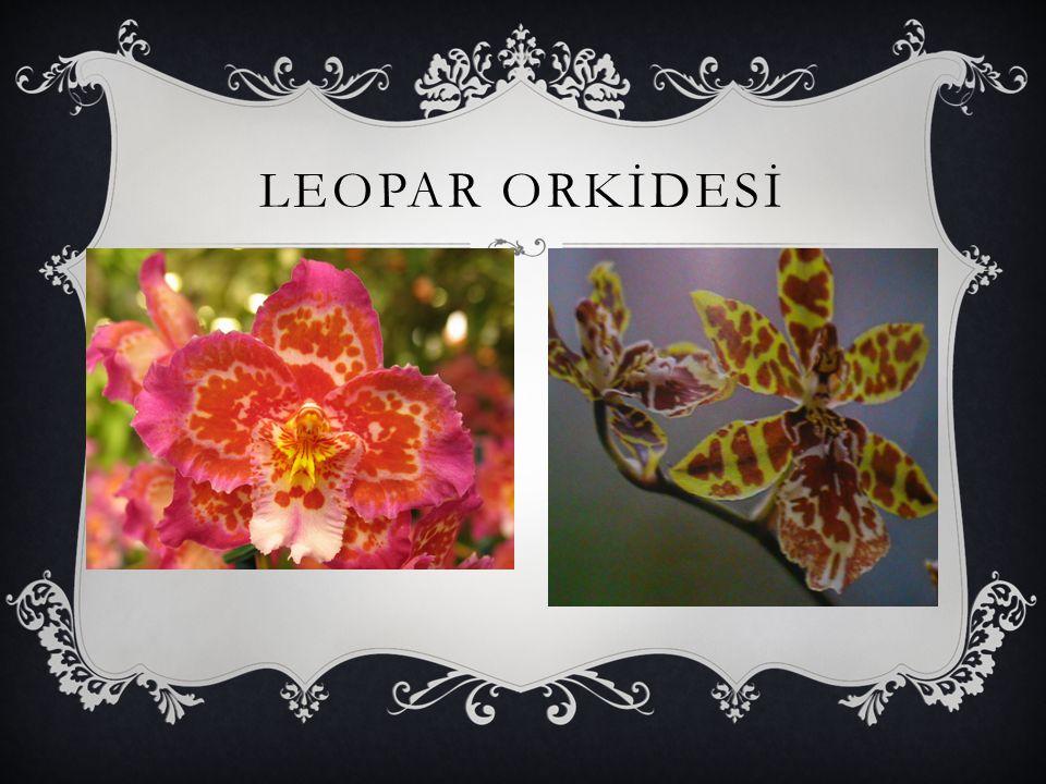 TERLİK ORKİDESİ