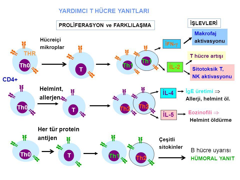 CD4+ PROLİFERASYON ve FARKLILAŞMA İŞLEVLERİ Eozinofili  Helmint öldürme B hücre uyarısı HÜMORAL YANIT T Th0 Th1 Th2 Çeşitli sitokinler Th1 T THR Th0