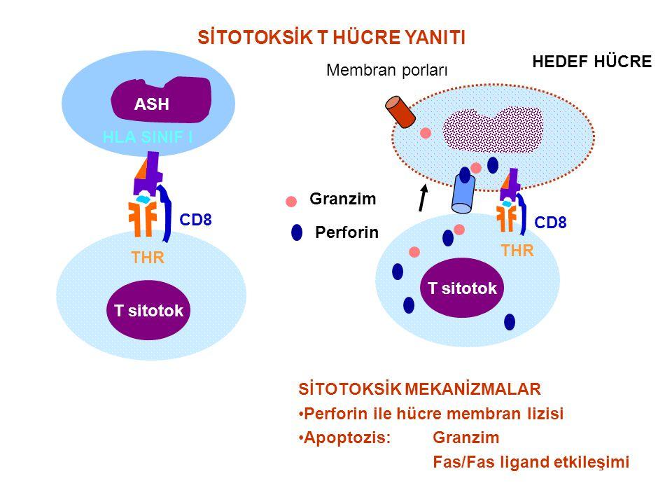 SİTOTOKSİK T HÜCRE YANITI HLA SINIF I T sitotok ASH CD8 THR T sitotok CD8 THR Perforin Granzim SİTOTOKSİK MEKANİZMALAR Perforin ile hücre membran lizi