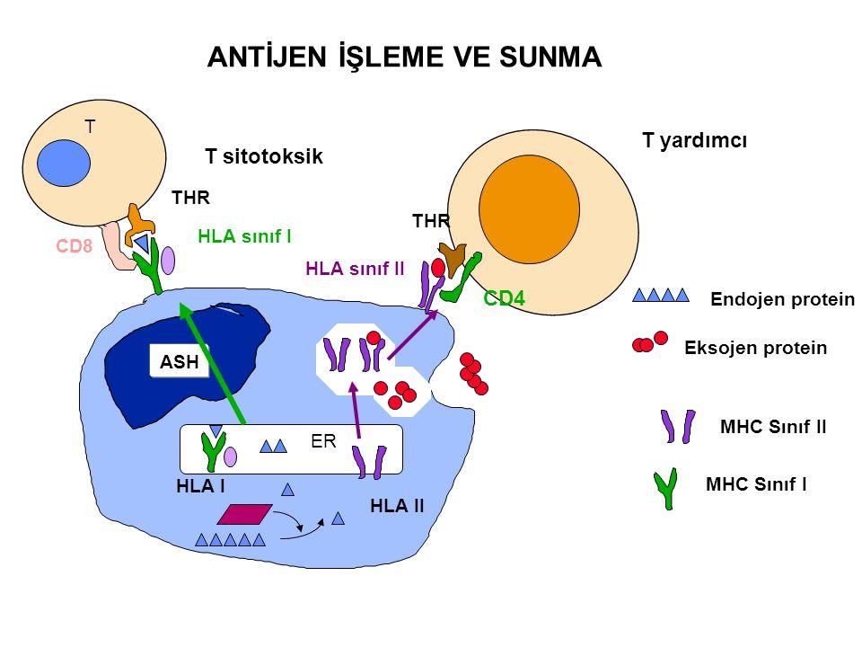CD4 THR T yardımcı MHC Sınıf I MHC Sınıf II Eksojen protein Endojen protein HLA sınıf II CD8 T THR HLA sınıf I T sitotoksik ANTİJEN İŞLEME VE SUNMA AS
