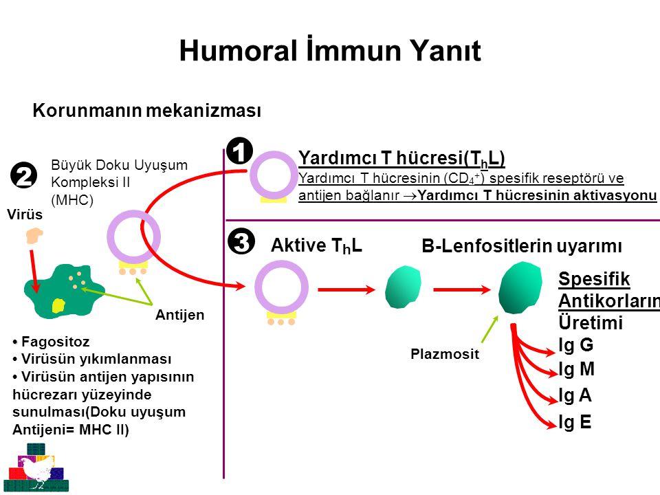 Humoral İmmun Yanıt Aktive T h L Yardımcı T hücresi(T h L) Yardımcı T hücresinin (CD 4 + ) spesifik reseptörü ve antijen bağlanır  Yardımcı T hücresinin aktivasyonu Fagositoz Virüsün yıkımlanması Virüsün antijen yapısının hücrezarı yüzeyinde sunulması(Doku uyuşum Antijeni= MHC II) Virüs Antijen Büyük Doku Uyuşum Kompleksi II (MHC) B-Lenfositlerin uyarımı Spesifik Antikorların Üretimi Ig G Ig M Ig A Ig E Plazmosit 1 2 3 Korunmanın mekanizması
