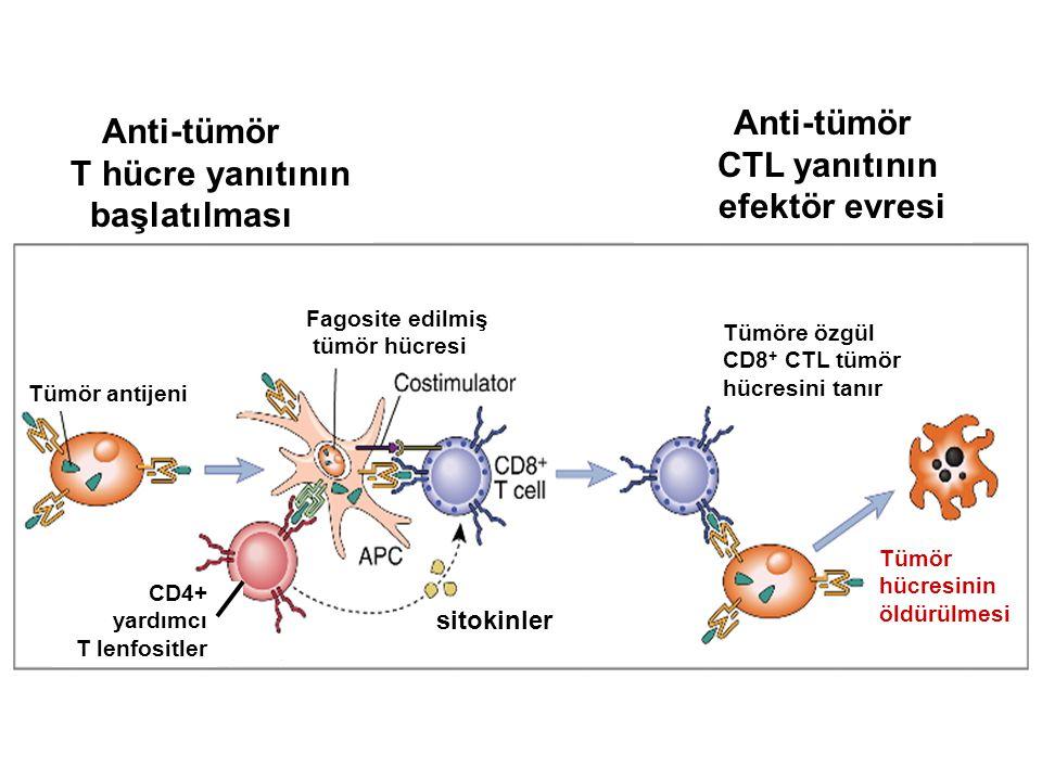 Anti-tümör T hücre yanıtının başlatılması Anti-tümör CTL yanıtının efektör evresi Tümör antijeni Fagosite edilmiş tümör hücresi CD4+ yardımcı T lenfos