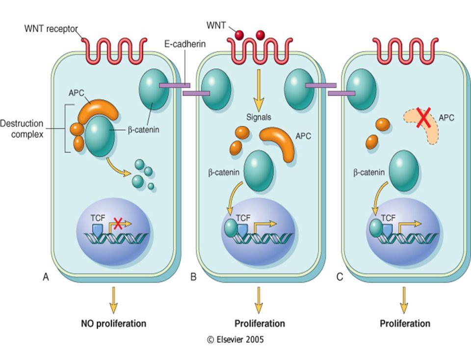 Adenomalarda kanserleşme İntramukozal Karsinom (= mm'nın üstü) Glandüler epitel bazal membranının invazyonu Lamina propria invazyonu (T0) İnvaziv Karsinom (= mm'nın altı) Muskularis mukoza ve/veya submukoza invazyonu (T1)