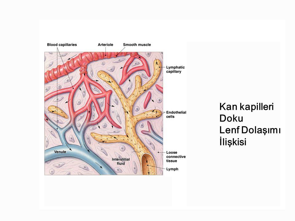 Kan kapilleri Doku Lenf Dolaşımı İlişkisi