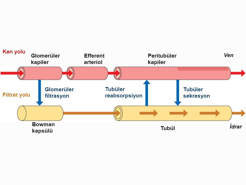 Glomerüler kapiler Efferent arteriol Peritubüler kapiler Ven İdrar Tubül Bowman kapsülü Filtrat yolu Kan yolu Glomerüler filtrasyon Tubüler reabsorpsi