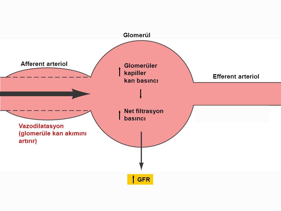 Afferent arteriol Glomerül Efferent arteriol Glomerüler kapiller kan basıncı Net filtrasyon basıncı GFR Vazodilatasyon (glomerüle kan akımını artırır)