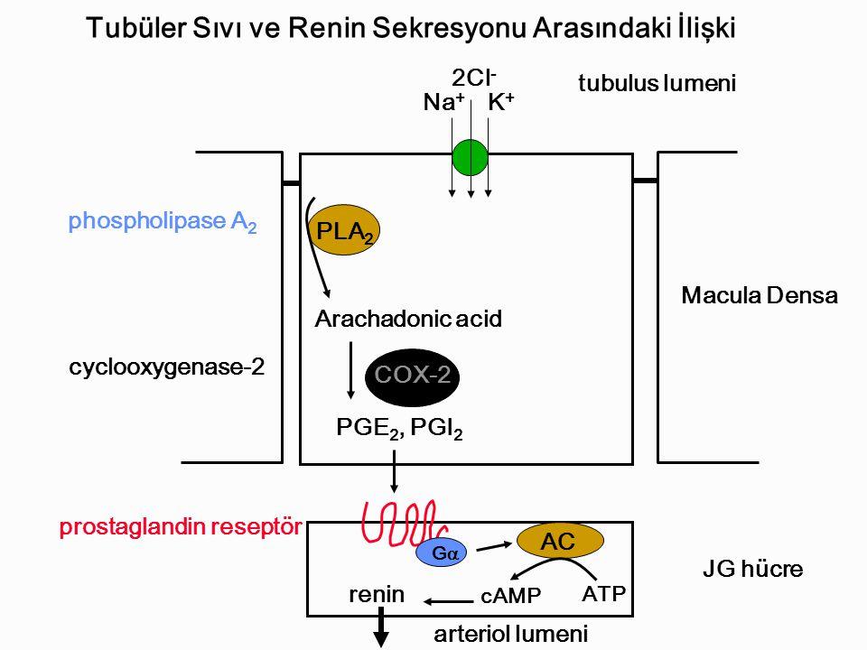 Na + K+K+ 2Cl - PLA 2 Arachadonic acid COX-2 PGE 2, PGI 2 AC ATP cAMP renin GG Macula Densa JG hücre arteriol lumeni tubulus lumeni phospholipase A