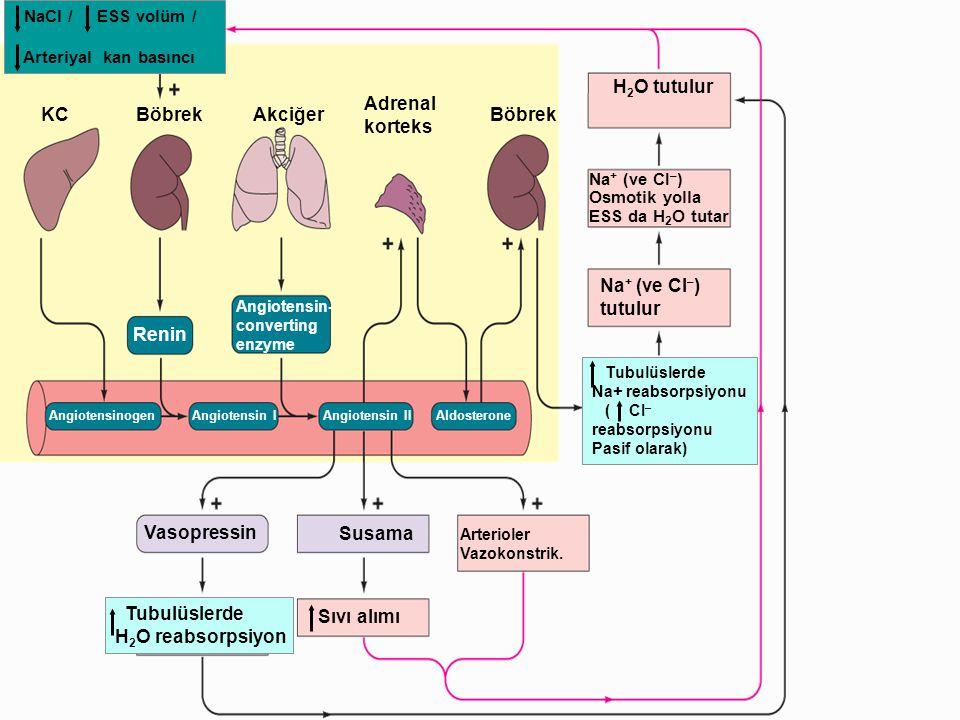 NaCl / ESS volüm / Arteriyal kan basıncı KCBöbrekAkciğer Adrenal korteks Böbrek H 2 O tutulur Na + (ve CI – ) Osmotik yolla ESS da H 2 O tutar Na + (v
