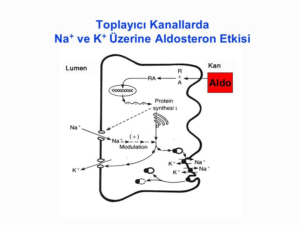Aldo Toplayıcı Kanallarda Na + ve K + Üzerine Aldosteron Etkisi Lumen Kan