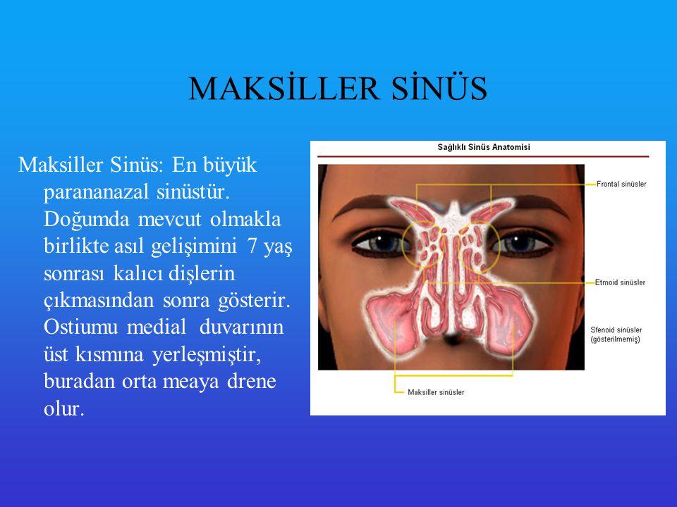 Frontal Sinüs Frontal sinüsler: taraflar arası en çok varyasyon gösteren sinüstür (bazen tek taraflı veya çift taraflı aplazisi de görülebilir) Drenajı orta meatusa olur.