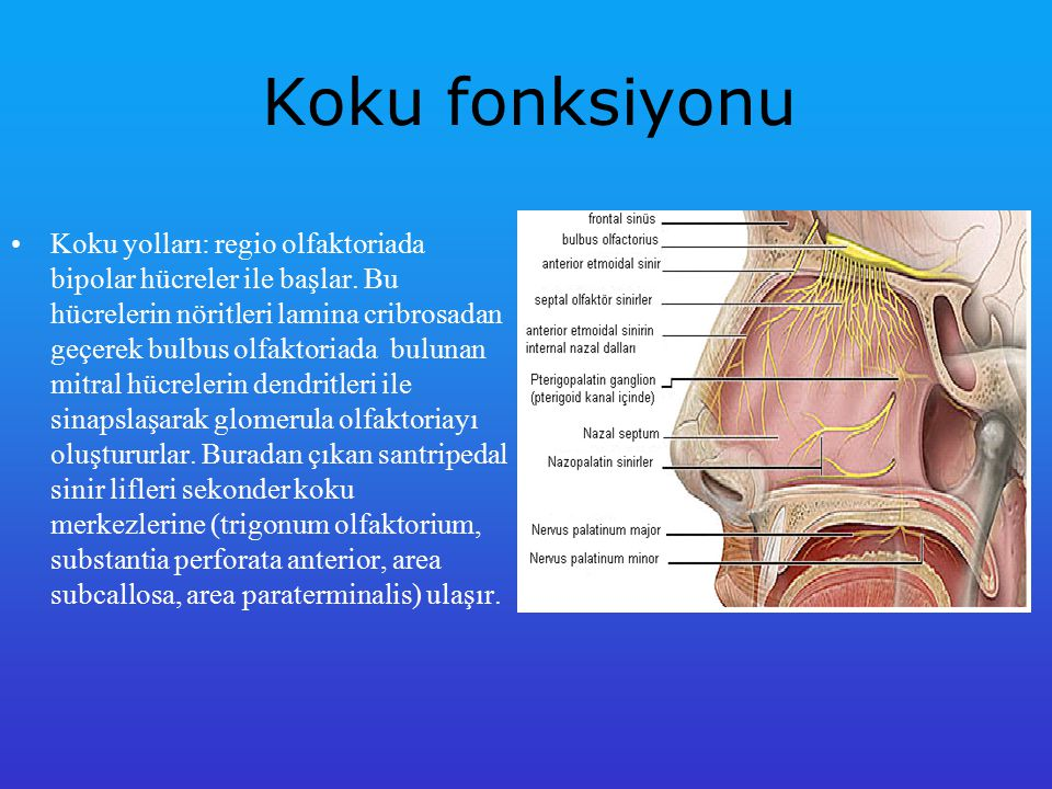 Rezonator Organ Nazal kavite konuşma fonksiyonunda rezonatör rol oynar.
