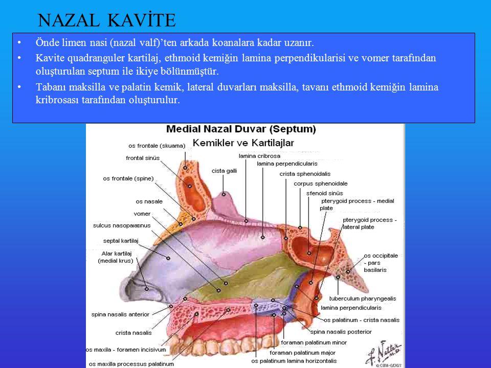 Konkalar lateral duvara yerleşmiş durumdadırlar; alt, orta ve üst konka olarak adlandırılırlar.