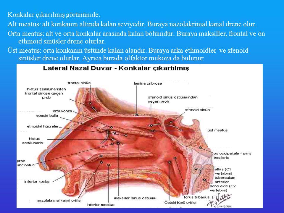 Burun Vaskuler Anatomisi Burnun anatomik yapıları karotid arterin eksternal ve internal dalları tarafından kanlanmaktadır Eksternal karotid arter - İnternal maksiller arter * Desenden palatin arter * Sfenopalatin arter # Posterior septal dal # Posterior lateral dal - Fasial arter * Superior labial arter