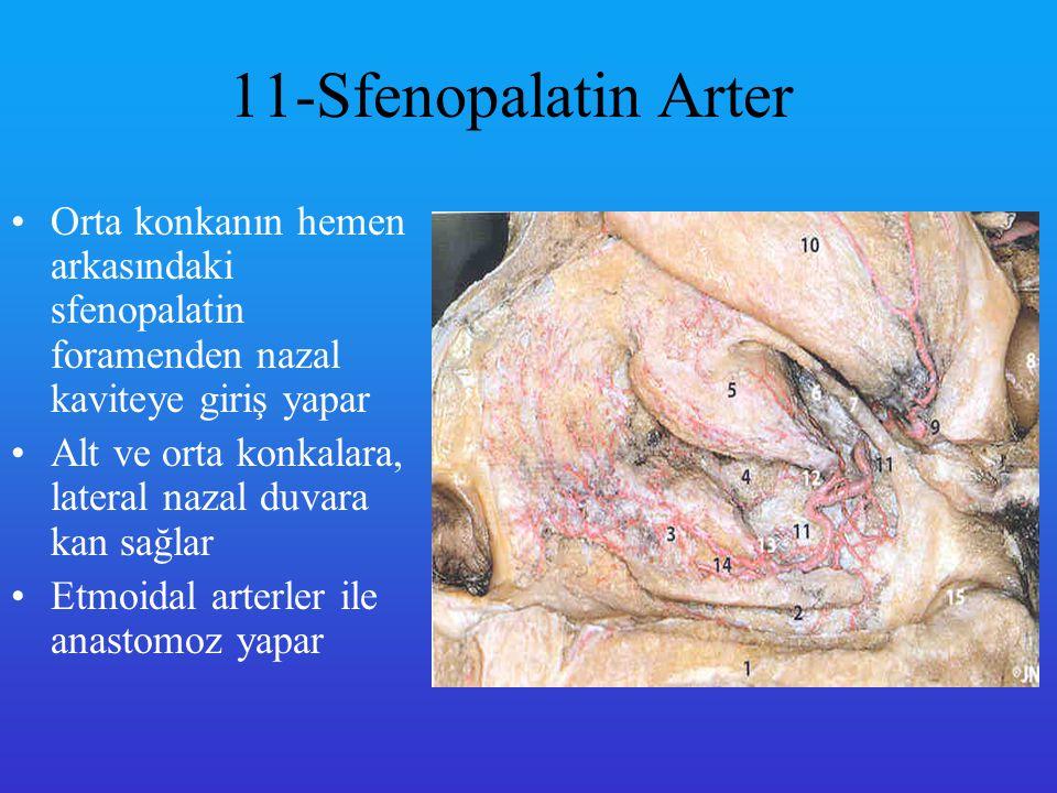 Etmoid Arter Posterior etmoid arter ( 3 ) üst konkanın ve ona bakan septal bölgenin kanlanmasını sağlar Anterior etmoidal arter medial ve lateral nazal duvarların 1/3 lük ön kısmına kan sağlar.