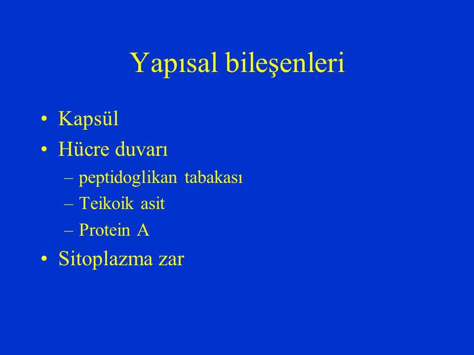 Yapısal bileşenleri Kapsül Hücre duvarı –peptidoglikan tabakası –Teikoik asit –Protein A Sitoplazma zar