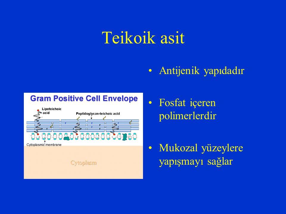 Teikoik asit Antijenik yapıdadır Fosfat içeren polimerlerdir Mukozal yüzeylere yapışmayı sağlar