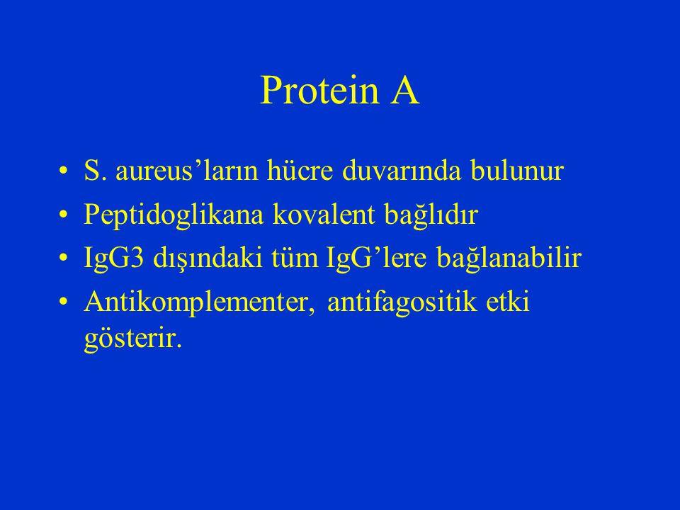 Protein A S. aureus'ların hücre duvarında bulunur Peptidoglikana kovalent bağlıdır IgG3 dışındaki tüm IgG'lere bağlanabilir Antikomplementer, antifago