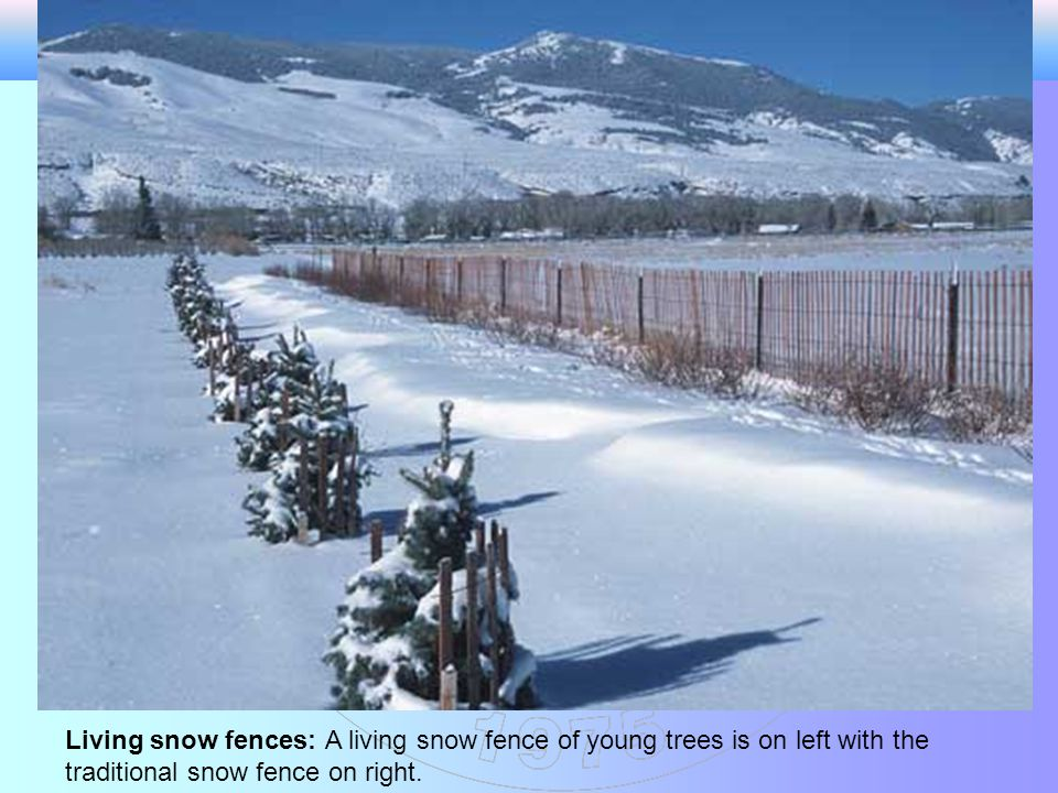 Living snow fences: A living snow fence of young trees is on left with the traditional snow fence on right.