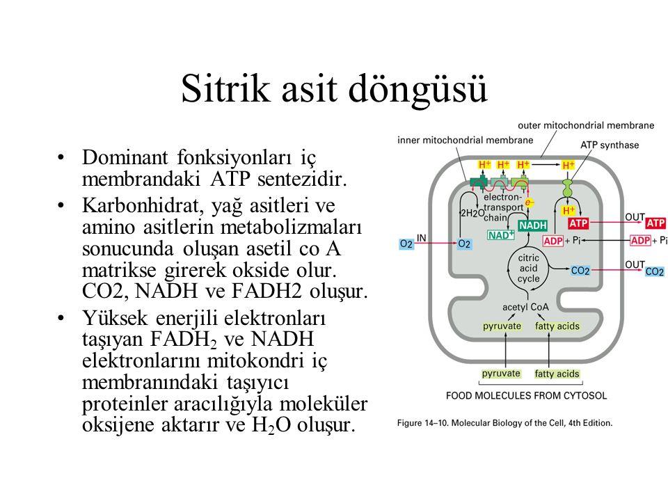 Sitrik asit döngüsü Dominant fonksiyonları iç membrandaki ATP sentezidir. Karbonhidrat, yağ asitleri ve amino asitlerin metabolizmaları sonucunda oluş