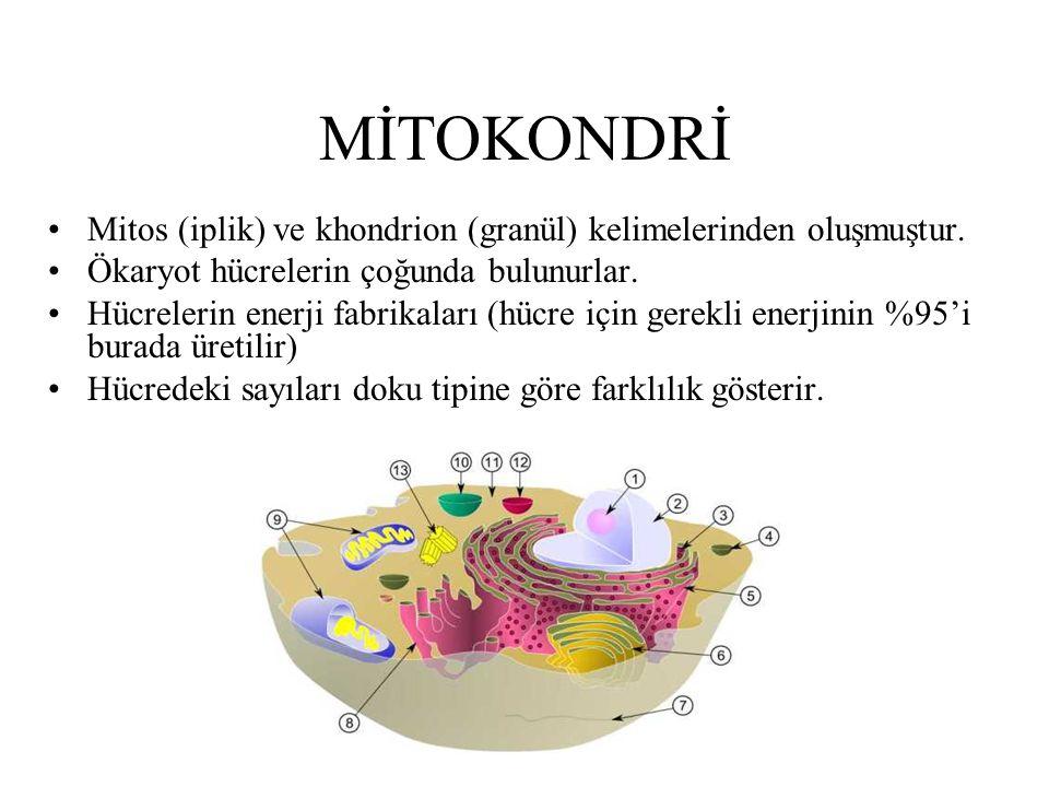 MİTOKONDRİ Mitos (iplik) ve khondrion (granül) kelimelerinden oluşmuştur. Ökaryot hücrelerin çoğunda bulunurlar. Hücrelerin enerji fabrikaları (hücre