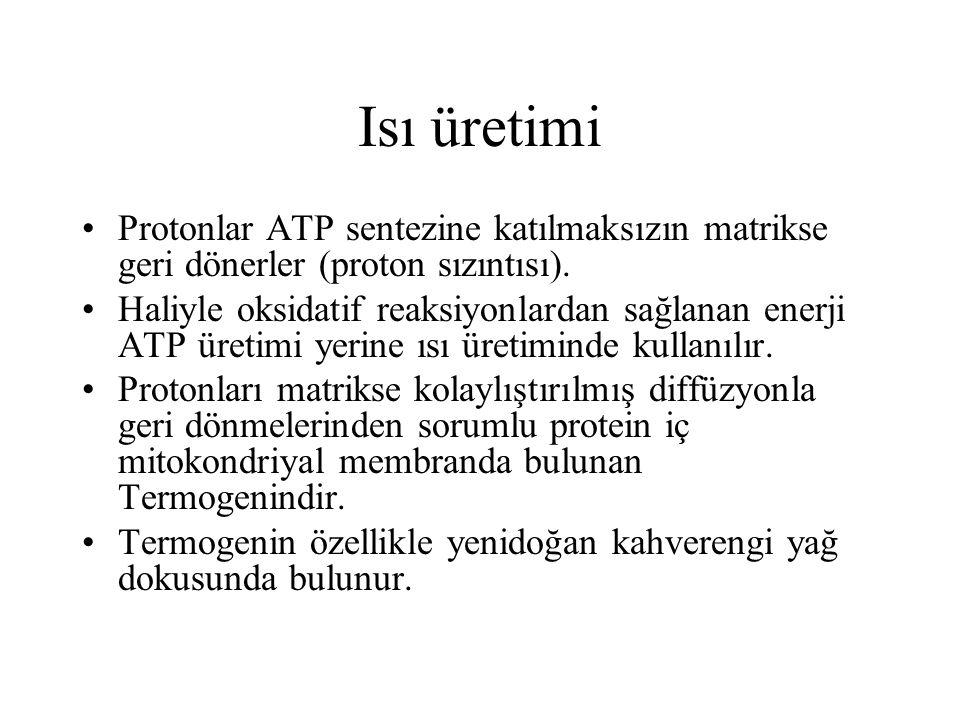 Isı üretimi Protonlar ATP sentezine katılmaksızın matrikse geri dönerler (proton sızıntısı). Haliyle oksidatif reaksiyonlardan sağlanan enerji ATP üre