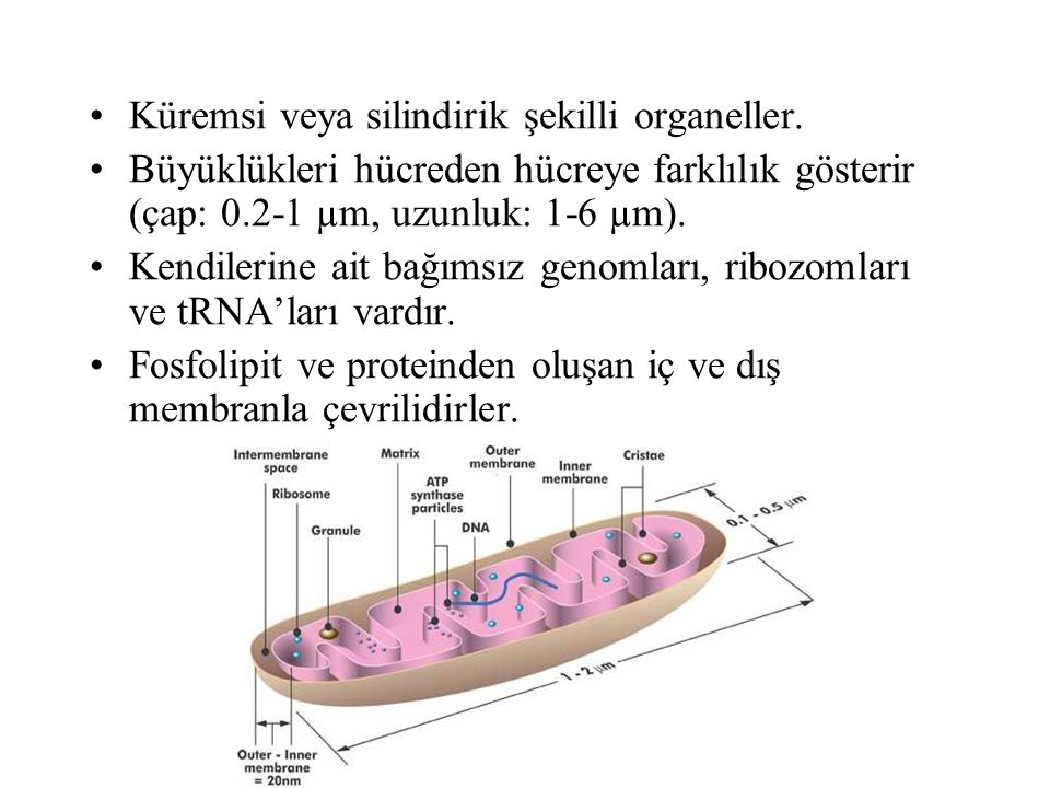MİTOKONDRİ FONKSİYONLARI ATP sentezi (oksidatif fosforilasyon) Sitrik asit döngüsü Üre sentezi Hem sentezi Keton cisimciklerinin sentezi Pek çok endojen ve eksojen bileşiğin metabolizması (iç membranda yerleşik sitokrom p450 enzim sistemi).
