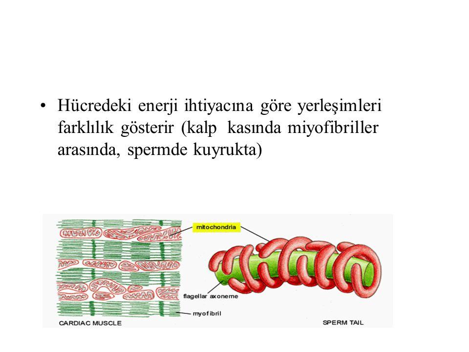 Çift membran organizasyonu nedeniyle 4 farklı bölümden oluşur 1.Dış membran 2.Membranlar arası alan 3.İç membran 4.Matriks