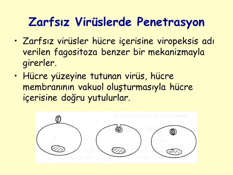 Zarfsız Virüslerde Penetrasyon Zarfsız virüsler hücre içerisine viropeksis adı verilen fagositoza benzer bir mekanizmayla girerler.