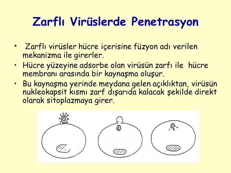 Zarflı Virüslerde Penetrasyon Zarflı virüsler hücre içerisine füzyon adı verilen mekanizma ile girerler.